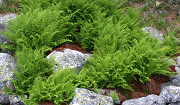 Athyrium distentifolium. Photo: Henry Vare