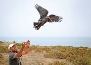 REPOM and SEO/BirdLife release a satellite-tagged juvenile Northern Bald Ibis in Morocco © Víctor G. Matarranz