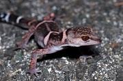 Banded Ground Gecko_Goniurosaurs splendens_© Shusaku Sugimoto