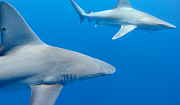"Two sandbar sharks near Haleiwa, Hawaii in September 2016 during the World Conservation Congress. One of the sharks has a fishing hook in its jaw. ""Plastic pollution is but one of the many pollutions we inflict upon nature. We should strive to address the root causes of our externalities, deeply engrained in civilisation, rather than focus on applying bandages to symptomatic problems."" Photo credit: Pierre-Yves Cousteau"