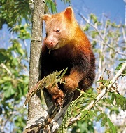 The Golden-mantled Tree Kangaroo is found in the Toricelli Mountains of Papua New Guinea, one of the Program's key sites © Matt West
