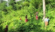 Villagers undertake weeding and replacement of tree saplings