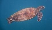 Marine Turtle. Photo: Kathryn Bimson