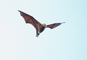 Pteropus niger Photo © Martin D. Parr