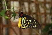 Ornithoptera alexandrae Photo © Mark Joy