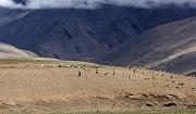 Livestock graze on high altitude wetland pastures near Lake Tsomoriri in India's cold desert region. Photo: © Anushree Bhattacharjee / IUCN