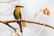 Any birdwatcher will be able to recognise the bright colors and sharp beak of the Böhm's Bee-eater Merops boehmi. These birds nest in holes in cliffs, and eat small insects including, yes, bees.