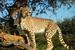 Acinonyx jubatus (Cheetah)