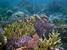 Acropora cervicornis (Staghorn Coral)