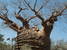 Adansonia rubrostipa (Fony Baobab)