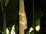 Ailuronyx trachygaster (Giant Bronze Gecko)