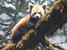 Ailurus fulgens (Red Panda)