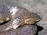 Aipysurus foliosquama (Leaf-scaled Sea Snake)