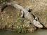 Alligator sinensis (Chinese Alligator)