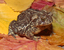 Anaxyrus baxteri (Wyoming Toad)