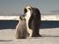 Aptenodytes forsteri (Emperor Penguin)