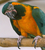 Ara glaucogularis (Blue-throated Macaw)