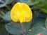 Arachis rigonii