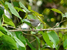 Artisornis moreaui (Long-billed Tailorbird)
