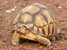 Astrochelys yniphora (Ploughshare Tortoise)