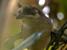 Atlapetes pallidiceps (Pale-headed Brush-finch)