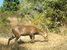Axis porcinus (Hog Deer)