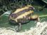 Balebreviceps hillmani (Ethiopian Short-headed Frog)
