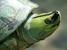 Batagur trivittata (Myanmar River Turtle)