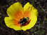 Bombus franklini (Franklin's Bumble Bee)