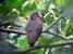 Bostrychia bocagei (Dwarf Olive Ibis)