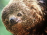 Bradypus torquatus (Maned Sloth)