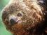 Bradypus torquatus (Maned Sloth)