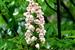 Bretschneidera sinensis