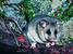 Burramys parvus (Mountain Pygmy-possum)