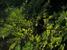 Caesalpinia echinata (Pau Brasil)