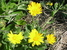 Calendula maritima (Sea Marigold)