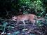Caracal aurata (African golden cat)