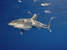 Carcharhinus longimanus (Oceanic Whitetip Shark)