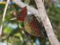 Celeus obrieni (Kaempfer's Woodpecker)
