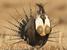 Centrocercus minimus (Gunnison Sage-grouse)