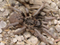 Ceratogyrus paulseni (Baboon Spider)