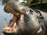Choeropsis liberiensis (Pygmy Hippopotamus)