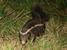 Conepatus chinga (Molina's Hog-nosed Skunk)