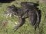 Conraua goliath (Goliath Frog)