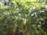 Cryosophila williamsii (Root-spine Palm)