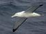 Diomedea exulans (Wandering Albatross)
