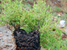 Dioscorea strydomiana (Wild Yam)