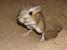 Dipodomys ingens (Giant Kangaroo Rat)