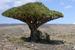Dracaena cinnabari (Dragon's Blood Tree)