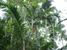 Dypsis pembana (Pemba Palm)